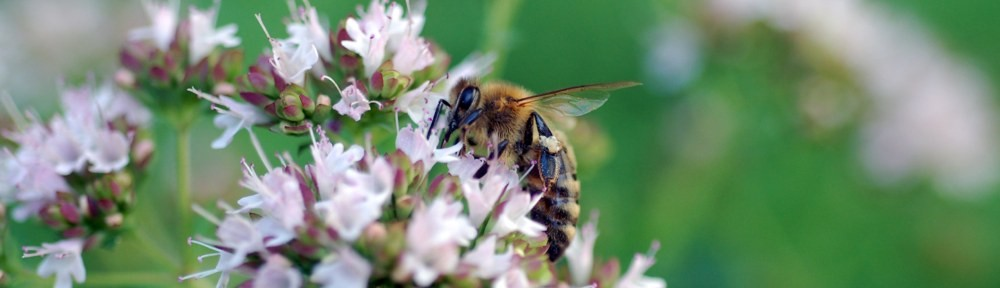Photograph of a honey bee in residential landscape design by Naturescape Designs landscape designer